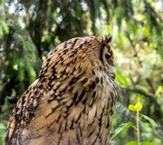 Indian eagle-owl looking to the right royalty free stock photos
