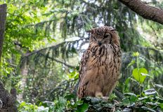 Indian eagle-owl, also called rock eagle-owl or Bengal eagle-owl Bubo bengalensis. It is a species of large horned owl, with `tufts` on its head royalty free stock images