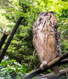 Indian eagle-owl, also called rock eagle-owl or Bengal eagle-owl Bubo bengalensis stock photo
