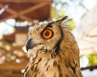 An Indian eagle-owl, species of horned-owl stock images