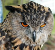 Indian Eagle Owl. Also known as a Bengal Eagle Owl. Bubo Bengalensis royalty free stock image