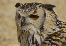 Indian Eagle Owl Royalty Free Stock Images