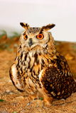 Indian Eagle-Owl (Bubo bengalensis) Stock Photo