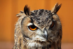 Indian eagle-owl (Bubo bengalensis). Royalty Free Stock Images
