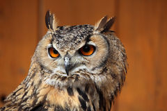 Indian eagle-owl (Bubo bengalensis). Stock Photos