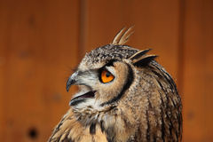 Indian eagle-owl (Bubo bengalensis). Royalty Free Stock Photos