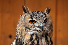 Indian eagle-owl (Bubo bengalensis). Royalty Free Stock Image
