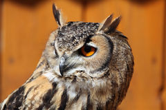 Indian eagle-owl (Bubo bengalensis). Stock Images