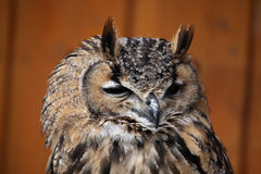 Indian eagle-owl (Bubo bengalensis). Royalty Free Stock Photography
