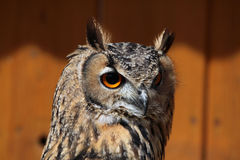 Indian eagle-owl (Bubo bengalensis). Stock Image