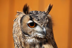 Indian eagle-owl (Bubo bengalensis). Indian eagle-owl (Bubo bengalensis), also known as the Bengal eagle-owl. Wild life animal royalty free stock photography