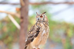 Indian Eagle-Owl Stock Image