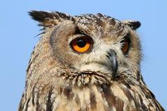 Indian eagle-owl Royalty Free Stock Photo