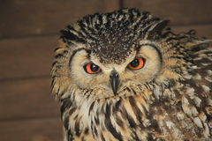 Indian eagle-owl Stock Photo