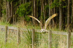 Indian Eagle Owl flying over fence Royalty Free Stock Photos