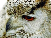 Indian Eagle owl stock photo