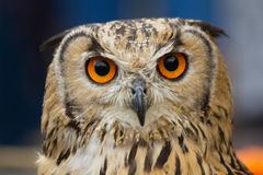 Indian Eagle Owl  Head Staring at Camera Stock Photography