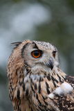 Indian Eagle Owl Stock Photography