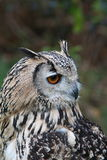 Indian Eagle Owl Royalty Free Stock Image
