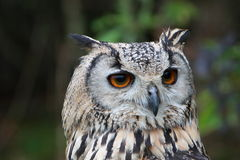 Indian Eagle Owl Stock Photo