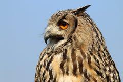 Indian eagle-owl Royalty Free Stock Image