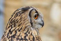 Indian Eagle Owl Profile Royalty Free Stock Photo