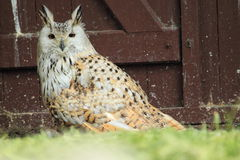 Indian eagle-Owl Stock Image