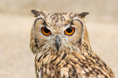 Indian Eagle Owl Royalty Free Stock Photography