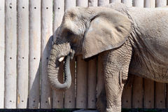Indian Elephant. An India Elephant stands against the wall at the Salt Lake City zoo eating Stock Photo