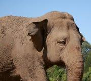 Indian Elephant. Against blue sky stock photos