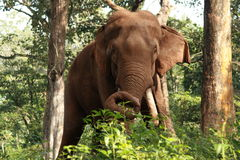 Indian Elephant. In the jungle eating leaves Stock Photography