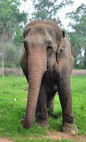 Indian elephant. Standing in safari Royalty Free Stock Photo