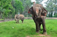 Indian elephant. Two Indian elephant smile for other elephant Royalty Free Stock Photo