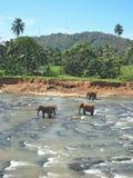 Indian elephant. Stock Photo