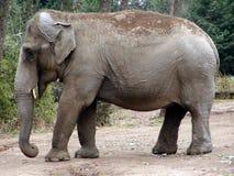 Indian Elephant. The indian elephant (Elephas maximus indicus stock images