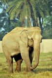 Indian Elephant Royalty Free Stock Images