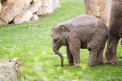 Indian elephant baby on the grass Stock Images