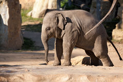 Indian elephant baby in the Prague Zoo Royalty Free Stock Photo