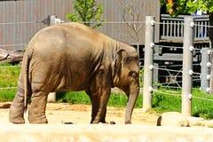 Indian elephant Stock Photography
