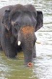 Indian elephant bath Royalty Free Stock Photos