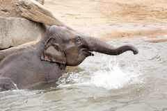 Indian elephant bathing in the Prague Zoo Royalty Free Stock Image