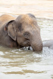 Indian elephant bathing in the water Stock Images