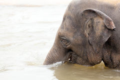 Indian elephant bathing in the water Royalty Free Stock Photo