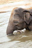 Indian elephant bathing in the water Royalty Free Stock Photography