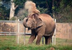 Indian elephant Royalty Free Stock Photography