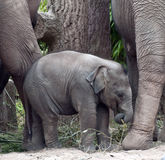 Indian Elephant Calf at Chester Zoo Royalty Free Stock Photos