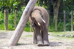 Indian Elephant child Royalty Free Stock Photo