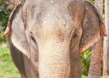 An Indian elephant, closeup Royalty Free Stock Image