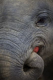 An indian elephant is eating an apple Stock Images