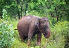 Indian elephant eating Stock Photo